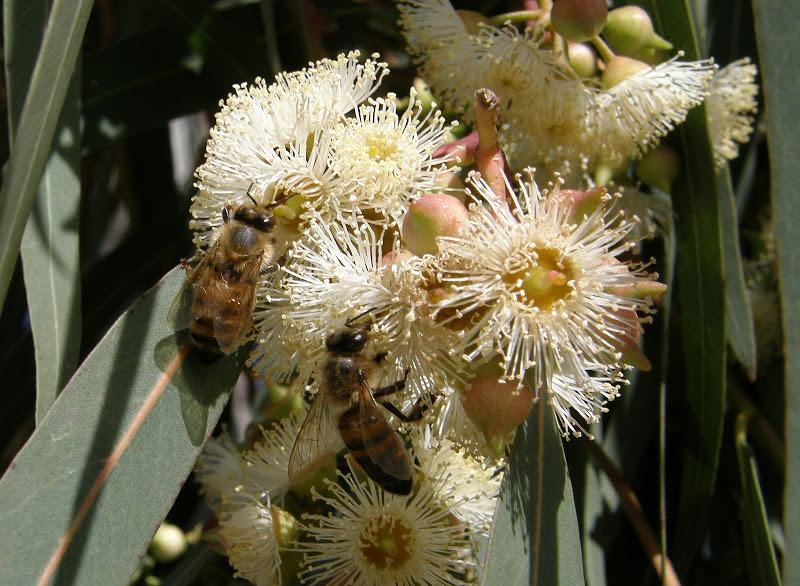 Фото пчел на цветах эвкалипта