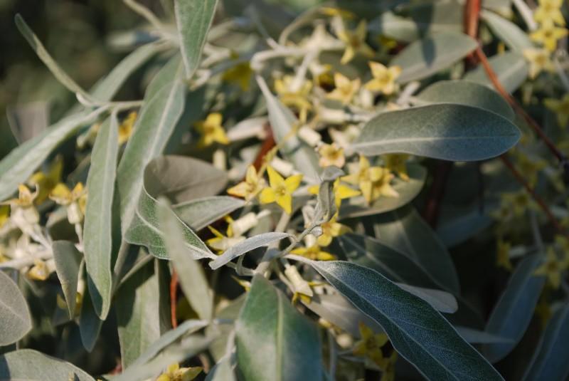 Растение серебристый лох фото