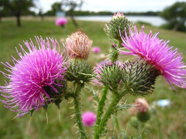 Фото цветущего растения в поле