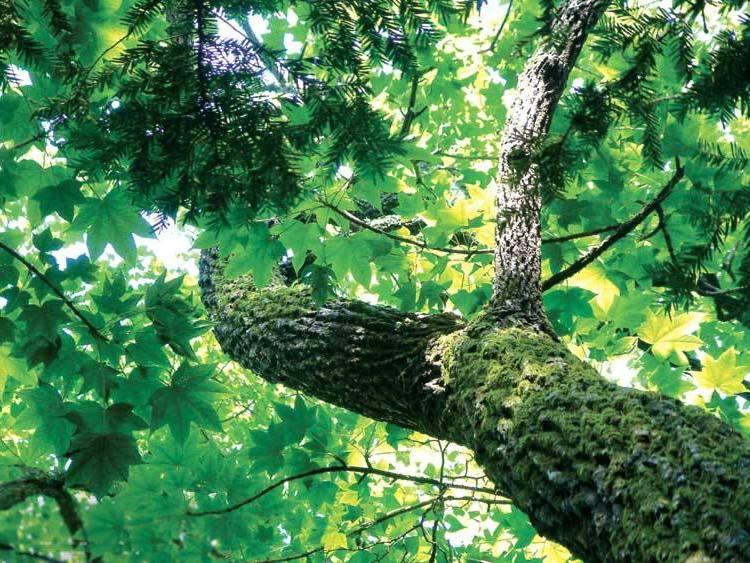 Высокое дерево диморфант фото