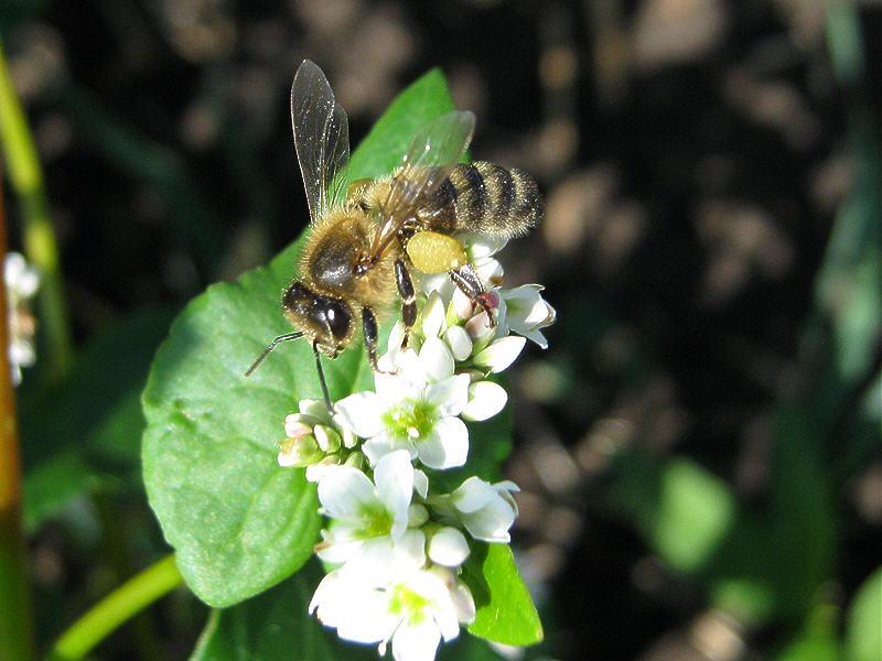Пчела на цветках гречихи фото