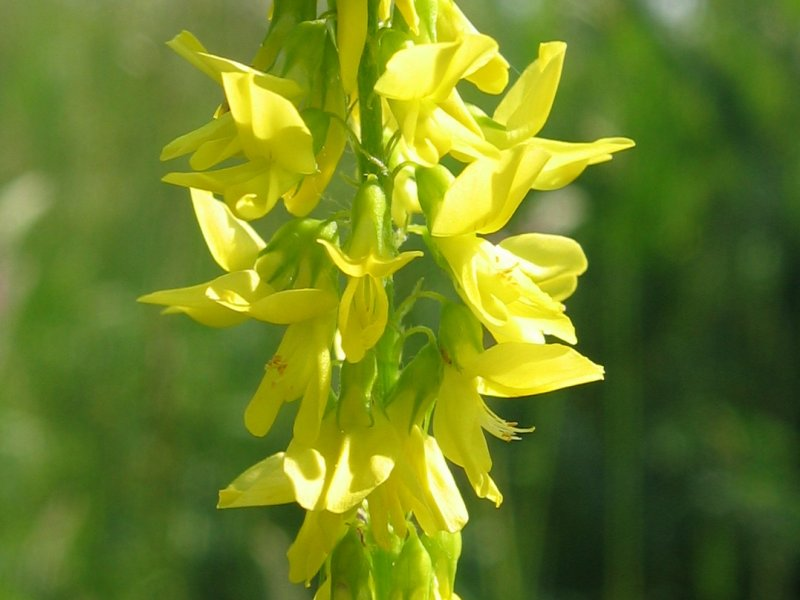 Желтые цветы донника фото
