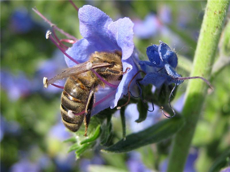 Фото пчелы, которая собирает нектар из цветка синяка