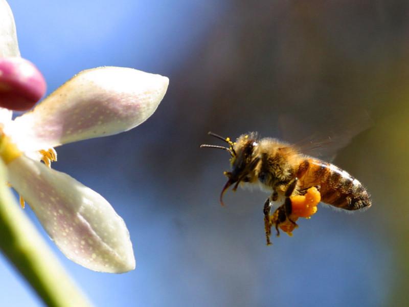 Фото летящей к цветку пчелы