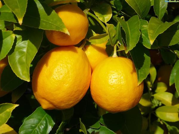 Фото лимонов на дереве в листве