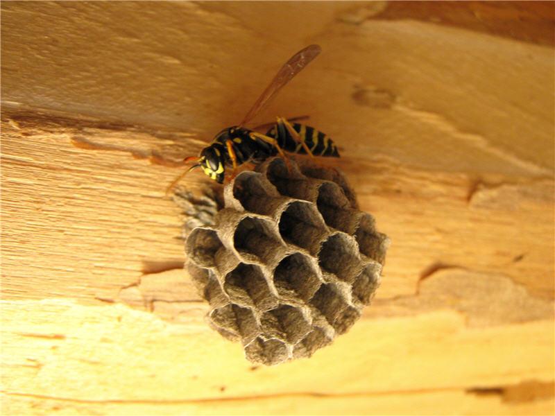 Фото осиного гнезда
