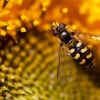 Фото осы на цветке