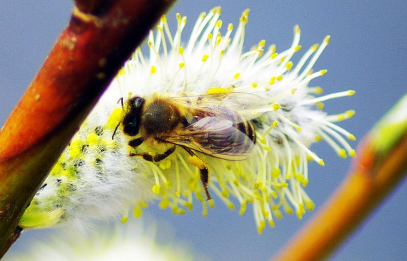 Фото пчелы на медоносе