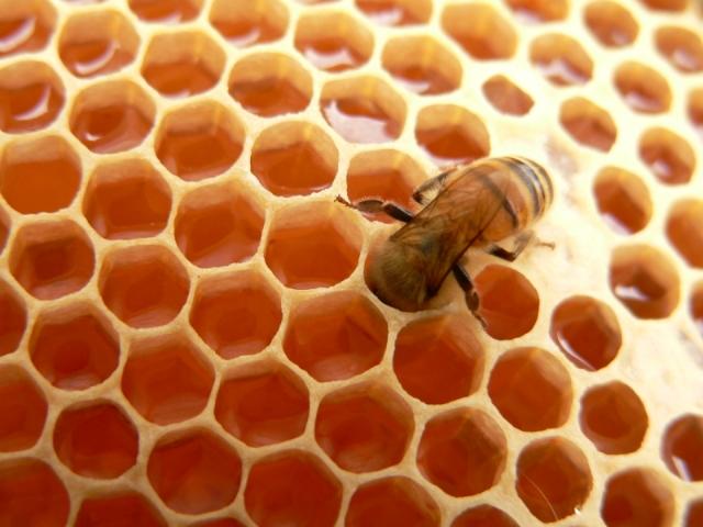 Фото пчелы в сотах