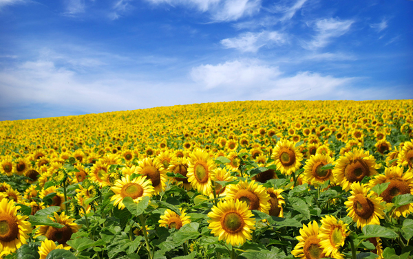 Фото поля подсолнухов и синего неба