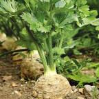 Фото сельдерея растущего в земле