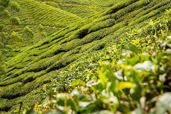 Фото склонов покрытых чайными кустами
