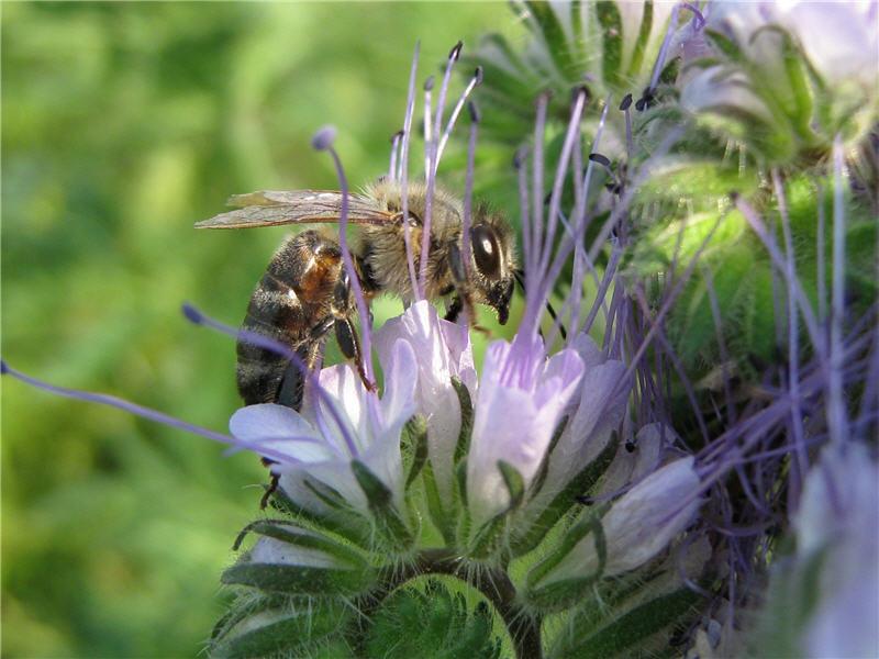 Фото цветка фацелии с пчелой