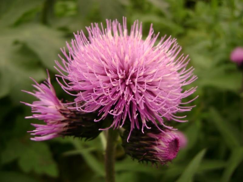 Фото цветка левзеи сафлоровидной