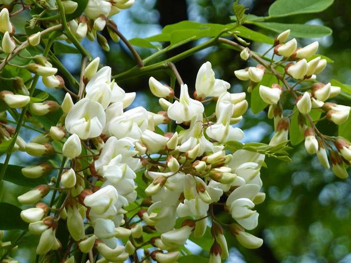 Фото цветков акации