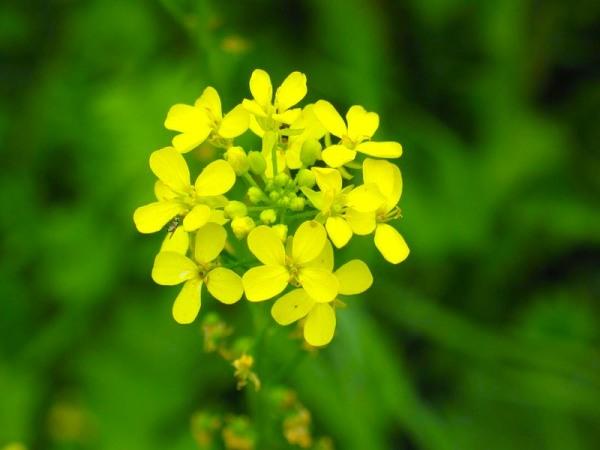 Фото цветков горчицы крупным планом