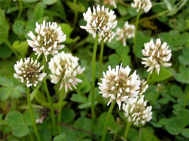 Фото цветов белого клевера