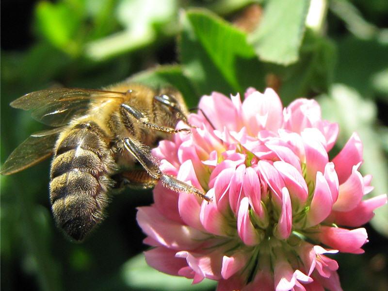 Фото пчелы, собирающей нектар с соцветия клевера