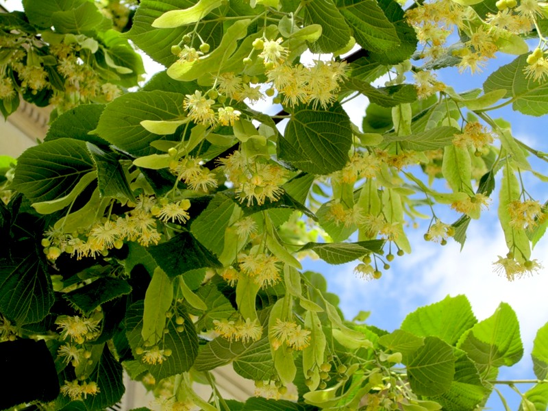 Фото цветов липы на ветке