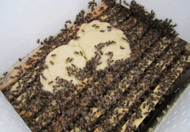 Фото пчел с сахарным сиропом