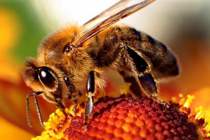 Пчела на пыльцевой части цветка