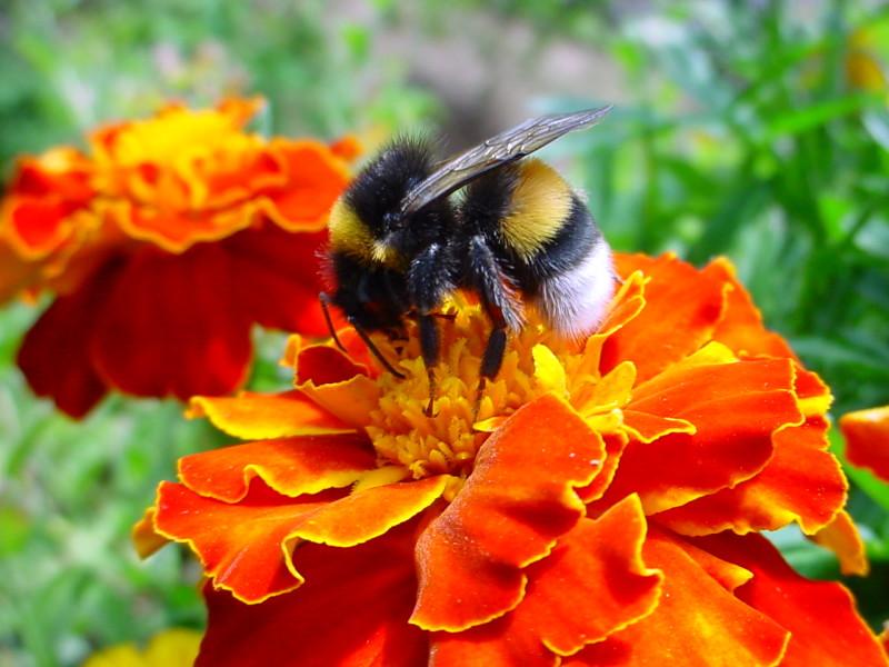 Пчела в процессе сбора нектара