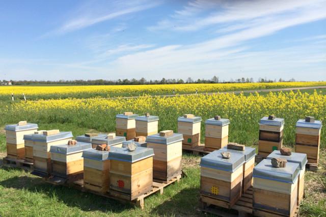 Пчелиные домики в рапсовом поле