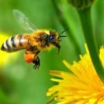 Пчела, собирающая нектар с одуванчика