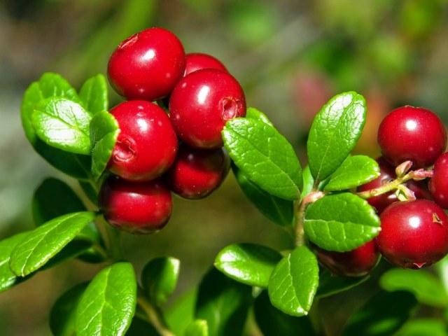 Красные плоды на ветке