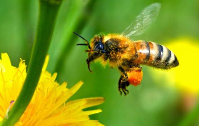 Обножки пчел: а в чем их польза?