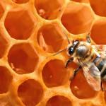 Пчела на медовых сотах