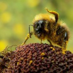 Пчела счищает пыльцу