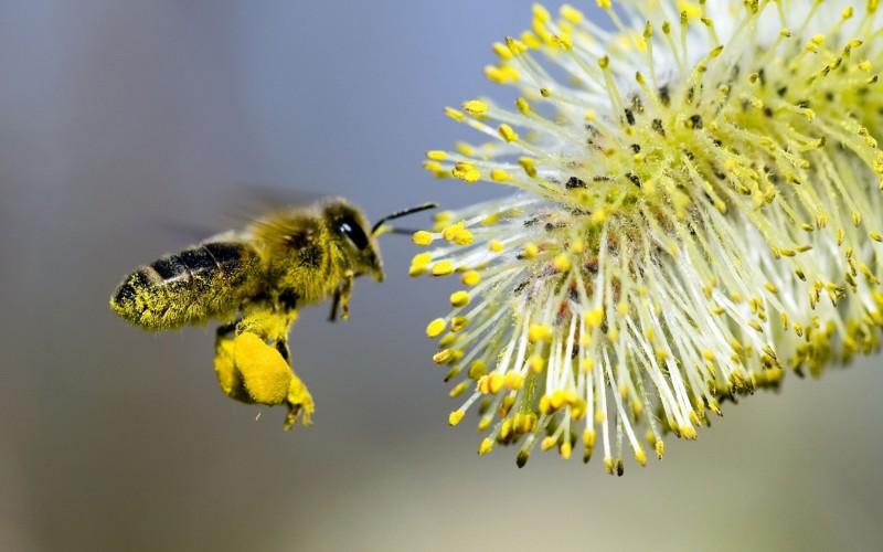 Шарики пыльцы на лапках пчелы