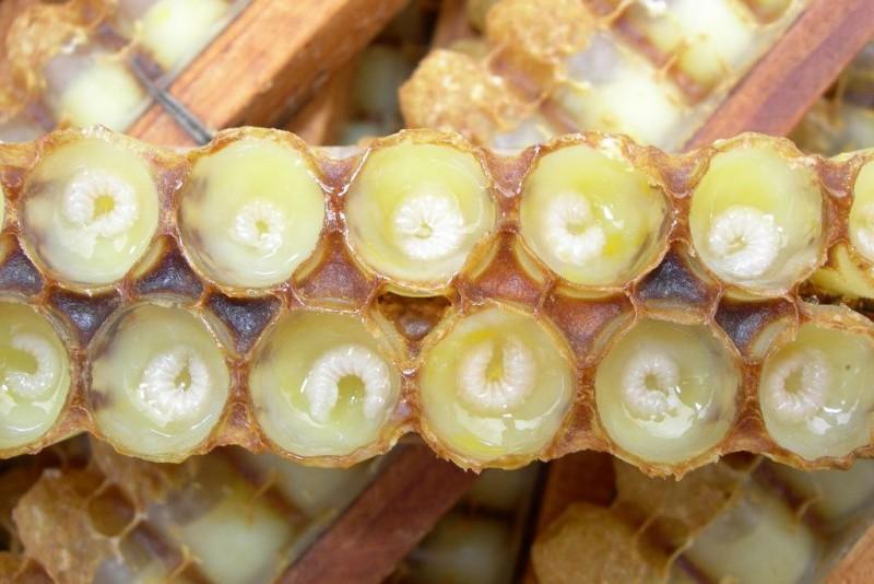 Личинки в маточном молочке в ячейках
