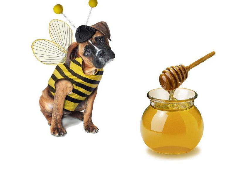 Собака-сладкоежка или можно ли питомцу мед?