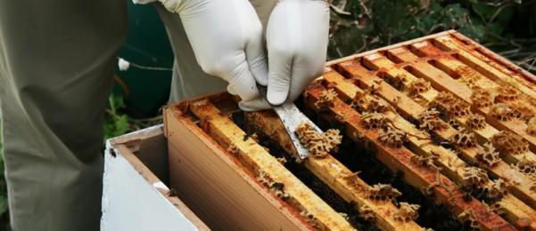 Процесс сбора пчелиного клея