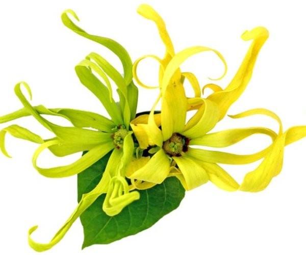 Цветок растения иланг-иланг