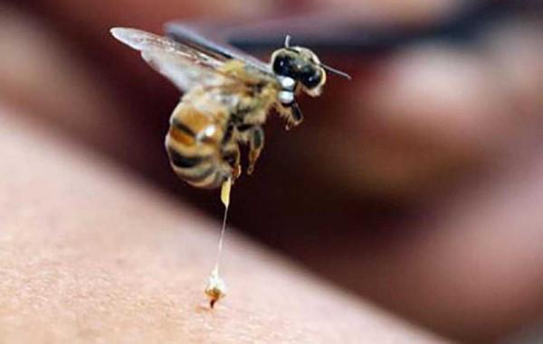Пчела кусает человека