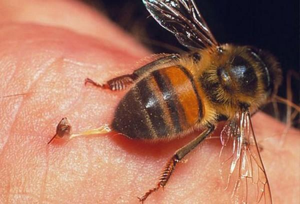 Пчела оставляет жало