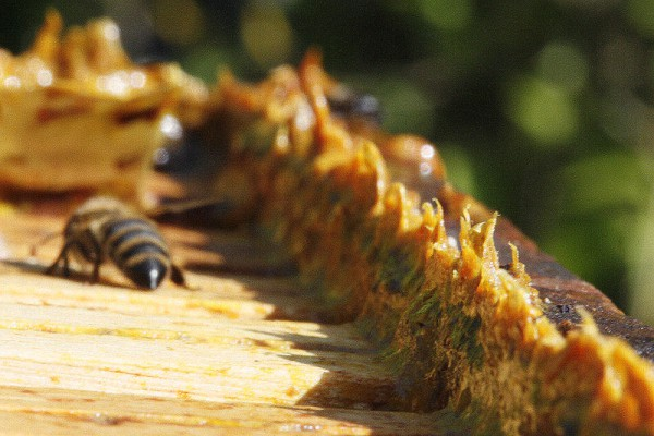 Пчела и сухой прополис