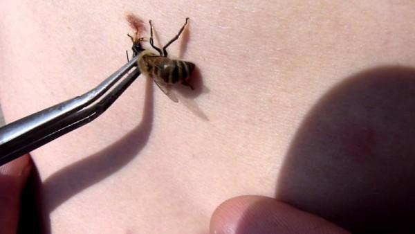 Забор яда пчелы для апитерапии