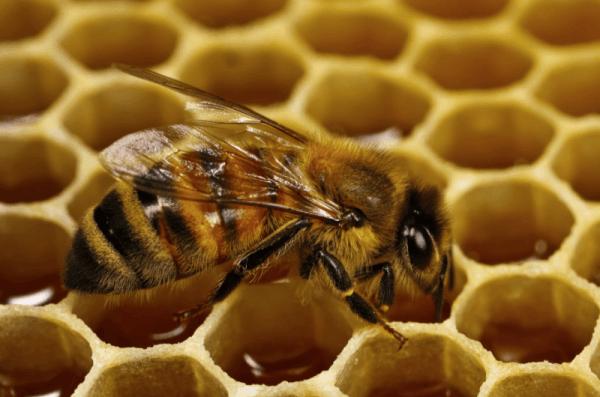 Пчела на сотах крупным планом