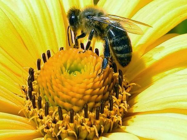 Пчела на цветке крупным планом
