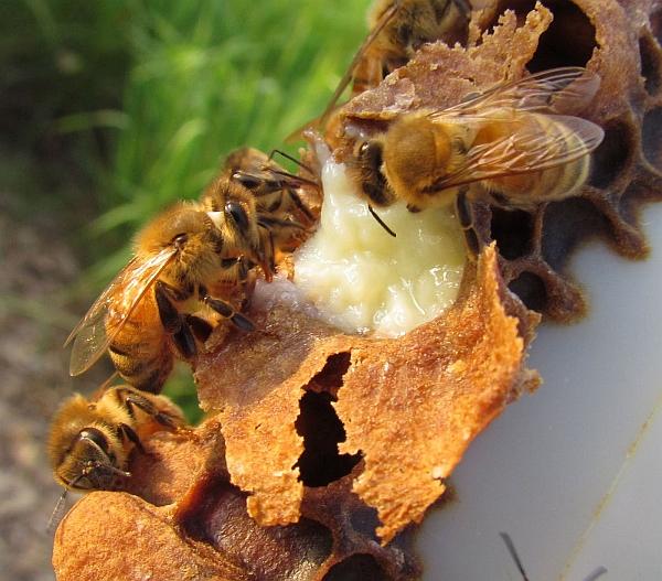 Пчелы производят секрет желез