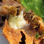 Пчелы над маточным молочком