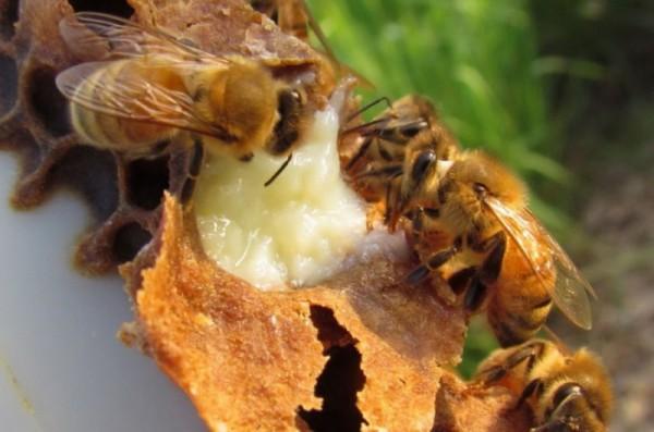 Маточное молоко пчел: польза для всех и каждого