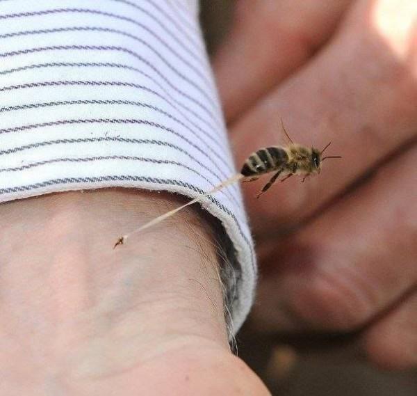 Пчела жалит ядом крупным планом