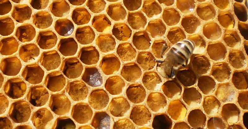 Пчела укладывает пергу в соту