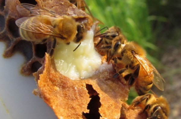 Пчелы трудятся над созданием королевского желе