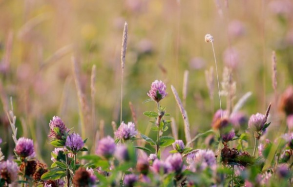 Цветущее клеверное поле